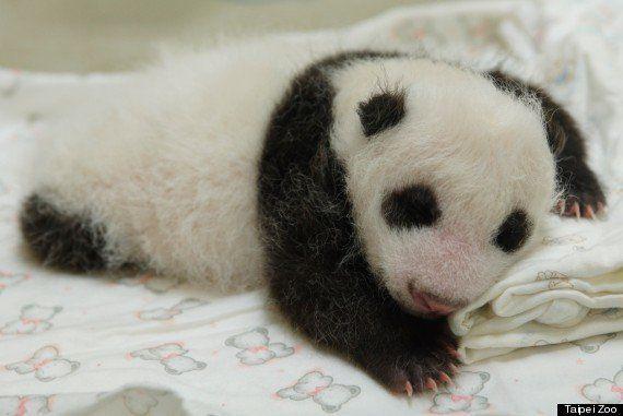 赤ちゃんパンダ、お母さんに初めて会う【画像・動画】