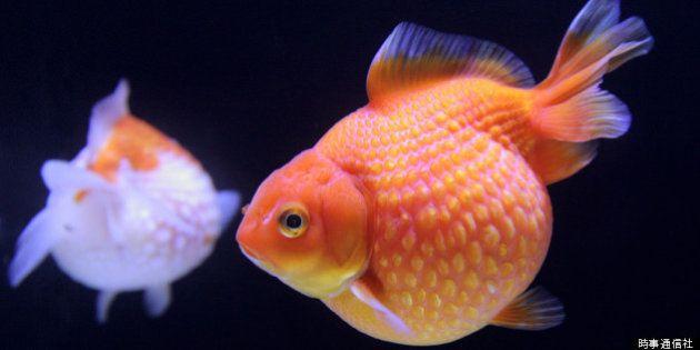金魚検定を廃止 「難しすぎて受験者が少ないから」