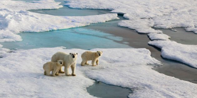 Polar bear mother with two cubs on an ice flow in the arctic ocean. Symbolic for climate situation in...