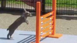 「ピョン、ピョーン!」ウサギの連続ジャンプから目が離せない【動画】