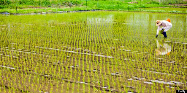 A man working and planting inside of a rice field in