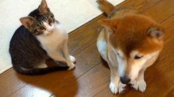 子猫のミルキーはそっと、柴犬の毛づくろいをする。とても優しく。【動画】