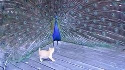 クジャクの華麗な羽で遊ぼうとする子猫から目がはなせない【動画】