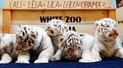 可愛いすぎるホワイトタイガーの五つ子赤ちゃん、ヨーロッパで初めて【画像】