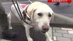 盲導犬オスカーは、心ない人に刺されても吠えずに耐えた