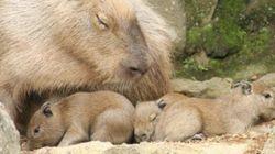 カピバラ、三つ子の赤ちゃんが可愛くてたまらない 伊豆シャボテン公園で誕生