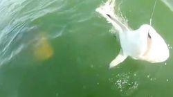 サメが釣れた!と思ったら、巨大魚がパクッとひとのみ【動画】