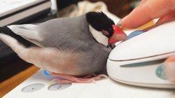 なでられる為にPCの前でスタンバイする文鳥が可愛すぎる【画像】