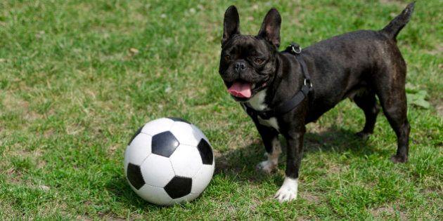 ワールドカップなみの熱狂、キュートな犬たちのサッカー動画