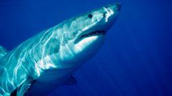 凶暴なホホジロザメを深海で襲った怪物の正体とは【動画】