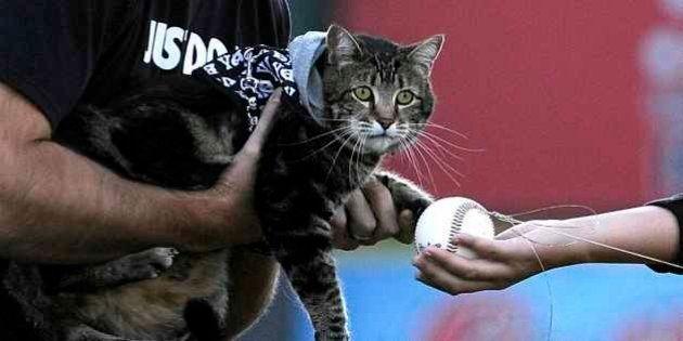 「少年を猛犬から救った猫」地元野球チームの始球式で投球【画像】