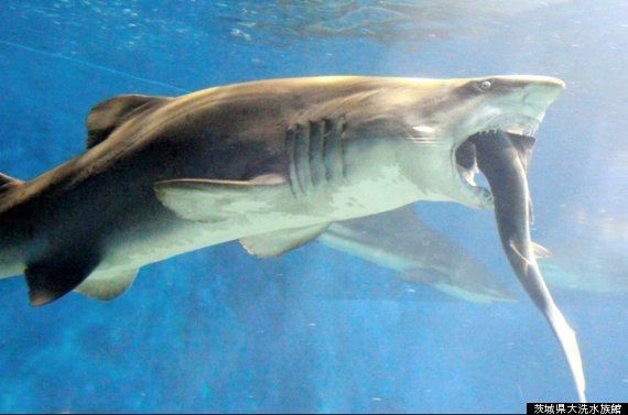 サメがサメに噛み付き......水族館は謝罪