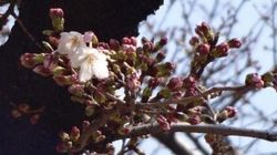 東京でも桜開花、東京タワーのライトアップにも注目