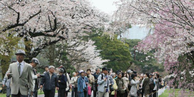 皇居の桜並木を初公開 天皇陛下の傘寿を記念 4月8日まで