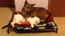 ネコ、イヌの寝床を奪ってのんびりの巻【動画】