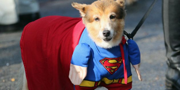 OLD WESTBURY, NY - SEPTEMBER 30: Dogs parade in costume during a Halloween contest at the Old Westbury...