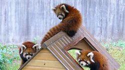 レッサーパンダの三つ子の赤ちゃん、人工保育ですくすく育つ