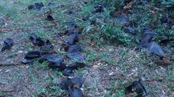 熱波のオーストラリア、コウモリが大量死(動画)
