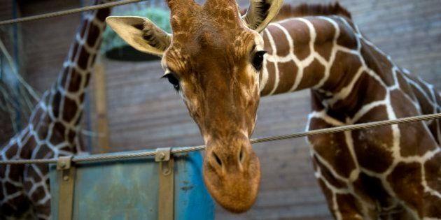 キリンを来園客前で解体、ライオンの餌に デンマークの動物園に抗議殺到