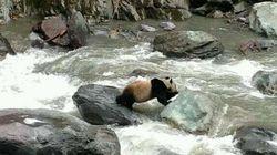 野生のパンダ、川を渡る【画像】