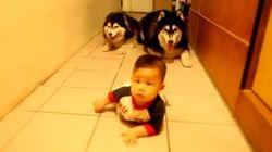 赤ちゃんと2匹のハスキー犬が