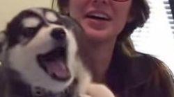シベリアンハスキーの子犬、よく話す「おかーさーん」【動画】