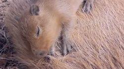 「落ちるー」お母さんのお腹でスヤスヤ眠る子カピバラが愛らしい(動画)