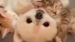 3匹の子猫と、1匹の子犬が、スヤスヤァ【動画】