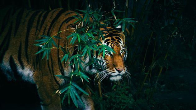 Βρήκε στο σπίτι μια τίγρη αλλά η αστυνομία δεν τον πίστεψε επειδή είχε κάνει