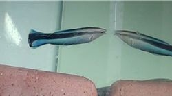 【世界初】「鏡に映る姿は自分」魚も認識 大阪市立大とドイツの研究チームが発見