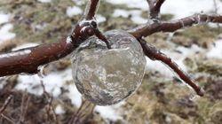 """ゴーストアップルとは?氷が混ざった冷たい雨で、幽霊みたいな""""新種のりんご""""ができちゃった"""