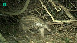 Chester Zoo Conservationists Conduct First Study Of Giant Pangolins in