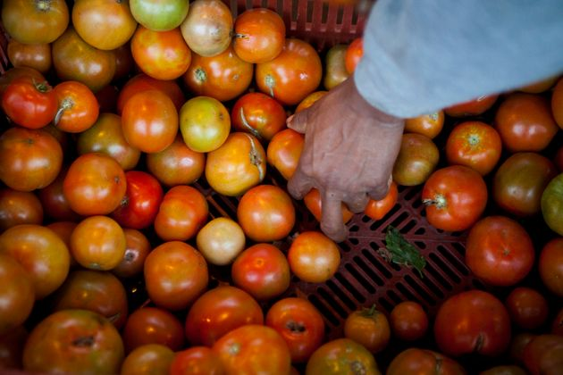 A farmworker packs boxes full of tomatoes in Escondido,