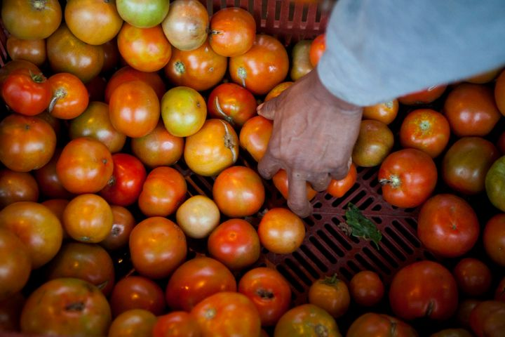 A farmworker packs boxes full of tomatoes in Escondido, California.