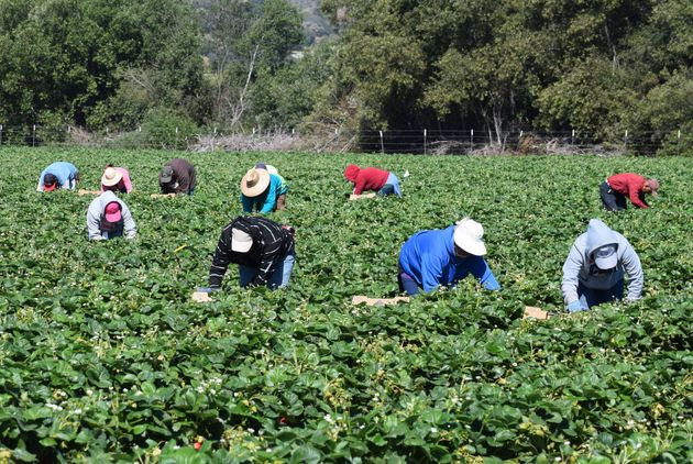 Farmworkers pick and package strawberries in Salinas,
