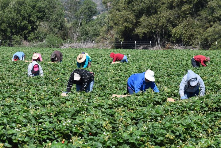 Farmworkers pick and package strawberries in Salinas, California.