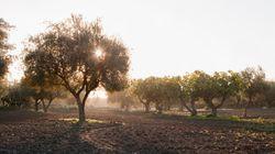 La Tunisie, première dans le monde en matière de superficies consacrées aux oliveraies
