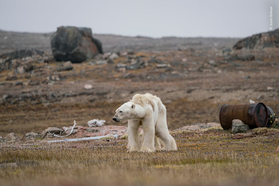 """Justin's whole body pained as he watched this starving polar bear at an abandoned hunter's camp, in the Canadian Arcti"