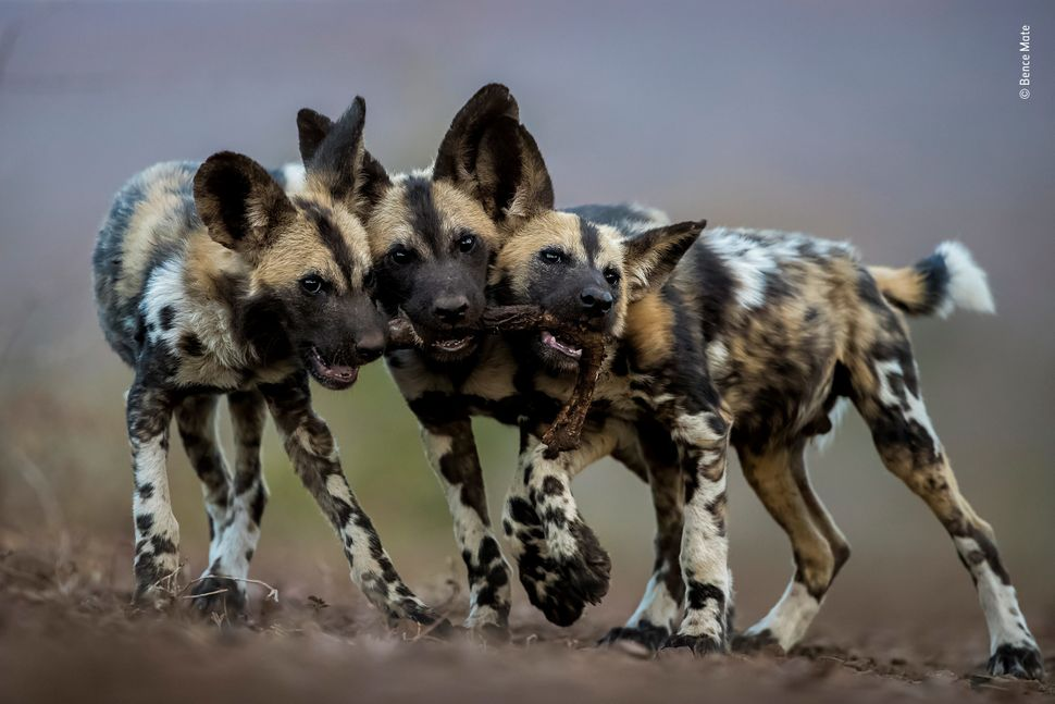 """While adult African wild dogs are merciless killers, their pups are extremely cute and play all day long. Bence photographed"
