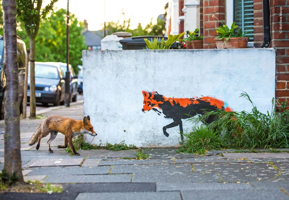 """Matthew has been photographing foxes close to his home in north London for over a year and ever since spotting this street a"