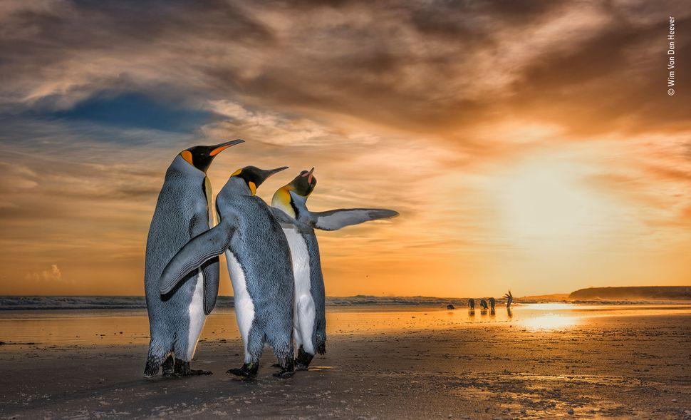 """Wim came across these king penguins on a beach in the Falkland Islands just as the sun was rising. They were caught up in a"