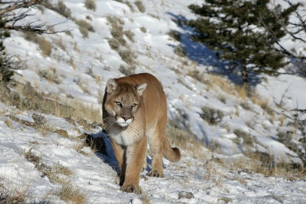 Kauffman was the 22nd person attacked by a mountain lion in Colorado since 1990, Parks and Wildlife said....