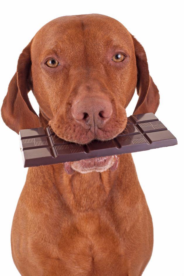 O chocolate é perigoso para os