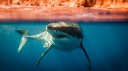 Αποκωδικοποιήθηκε το DNA του μεγάλου λευκού καρχαρία, που κρύβει μυστικά κατά του