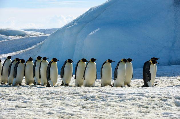 Ο πιο σπάνιος πιγκουΐνος του κόσμου κινηματογραφήθηκε στην