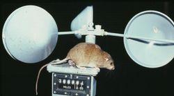 地球温暖化で、哺乳類が初めて絶滅か。ブランブル・ケイ・メロミスってどんな動物?