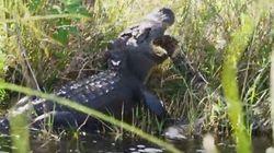 Μάχη τιτάνων! Tεράστιος αλιγάτορας εναντίον πύθωνα