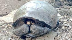 Une tortue géante que l'on pensait éteinte découverte aux