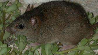 The Bramble Cay melomys is thought to be the first mammal driven to extinction by anthropogenic climate change.