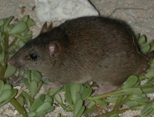 The Bramble Cay melomys was officially declared extinct this week by the Australian government. The last reported sighting of